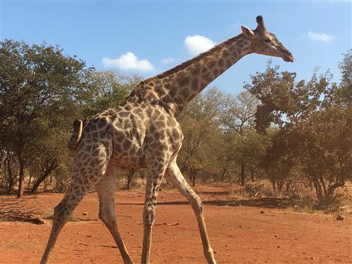 A South African giraffe